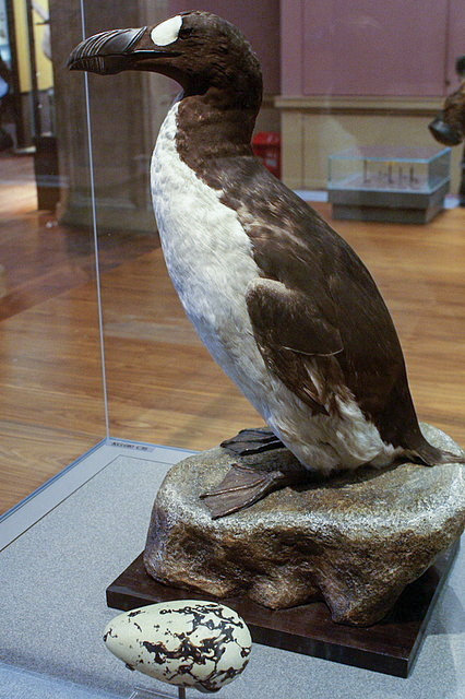 Great Auk 1