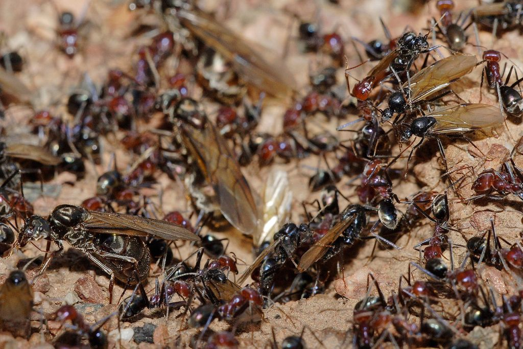 Eusocial A - Meat Eater Ant Nest During Swarm
