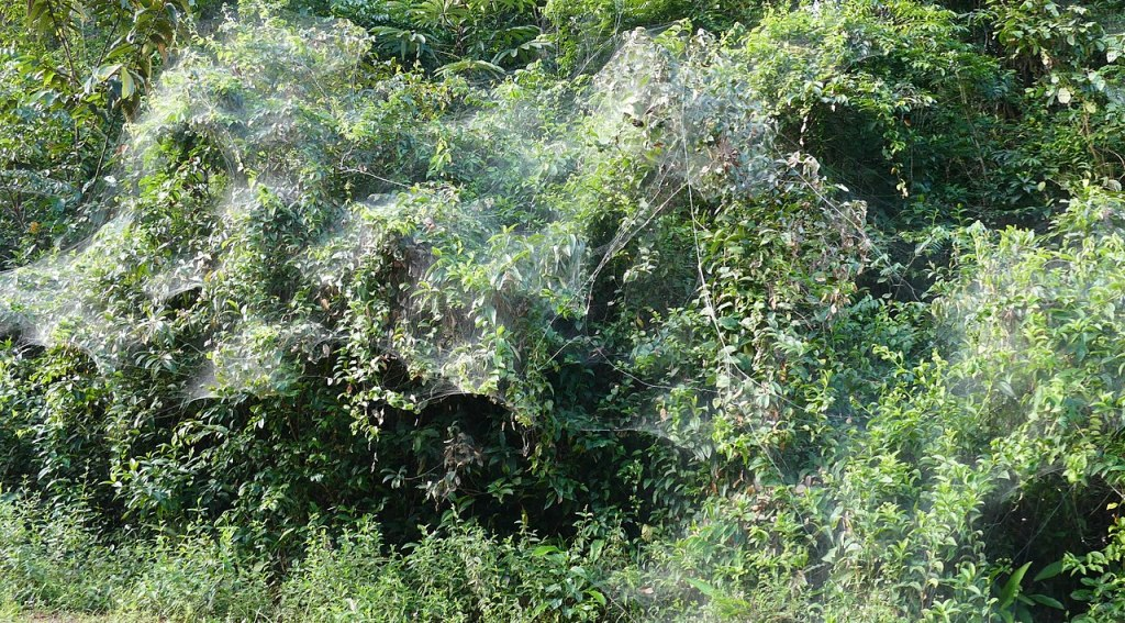 Social Spiders B - Anelosimus eximius Communal Web