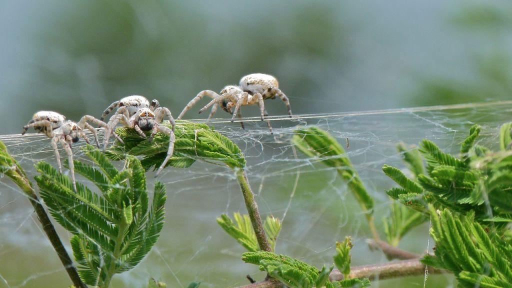 Social Spiders E - Stegodyphus dumicola